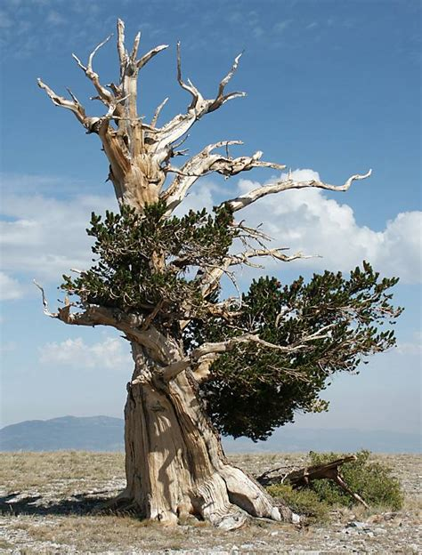 fate   oldest trees  earth treehugger