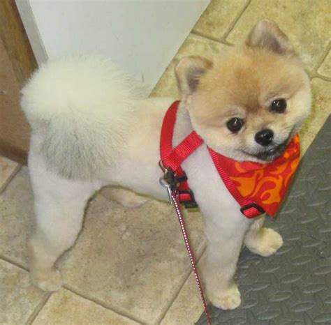 clipped pomeranian teddy cut pomeranian breeds picture