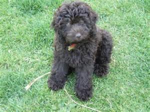 mini doodle puppies for sale uk golden gate labradoodles authentic australian labradoodles