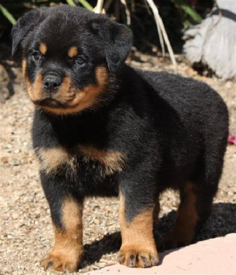 puppy rottweilers for sale cool pets 4u german rottweiler puppies reviews and pictures