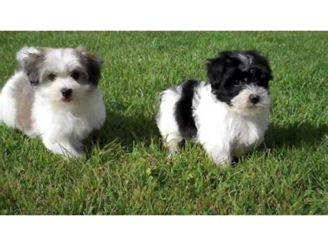 havanese puppies for adoption havanese puppies for adoption launceston buy and sell australian