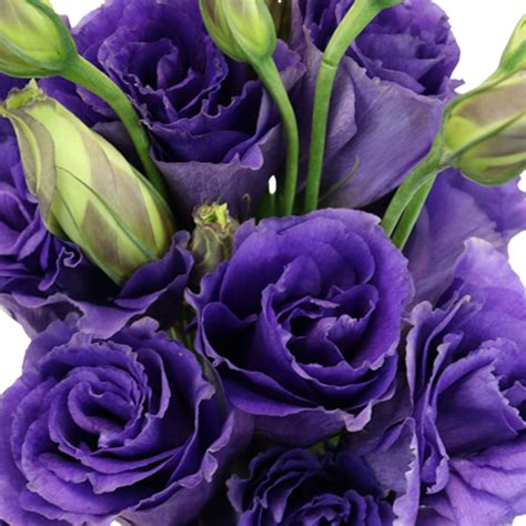 hues of purple hues of purple lisianthus flower for october to may delivery