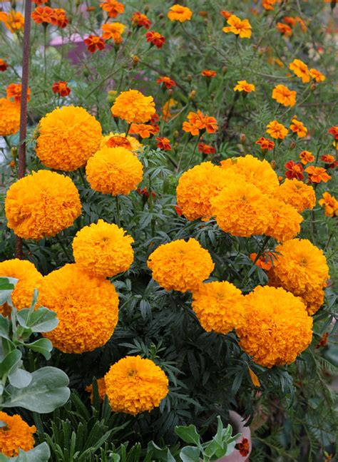 marigolds shade marigold day of the dead orange quot cempazuchitl quot buy
