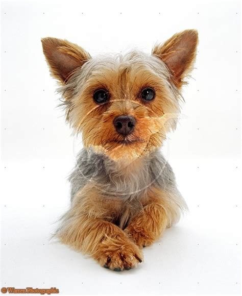 yorkie white puppy dogs white terrier puppies