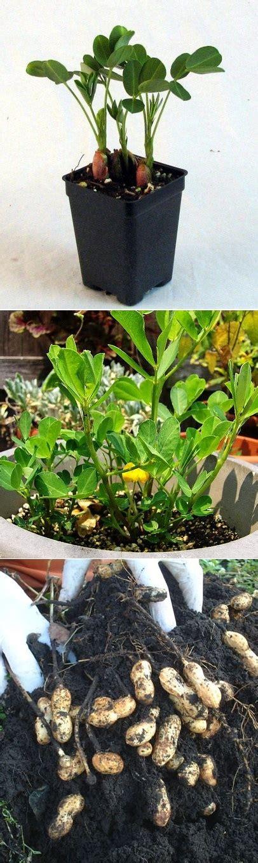 how to plant a backyard garden the backyard garden how do you grow peanuts