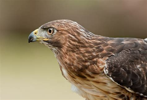 raptor birds of prey pictures