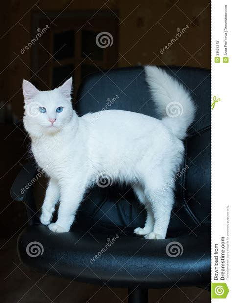 Cat Time Black Leather white cat with blue and bushy royalty free stock