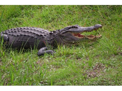 gator on the rise florida gators on the move as temperatures rise new port richey fl patch