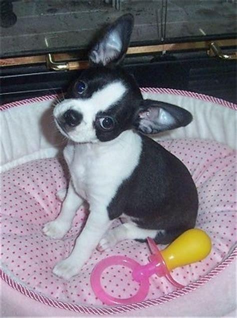 pug boston terrier chihuahua mix boston terrier chihuahua mix