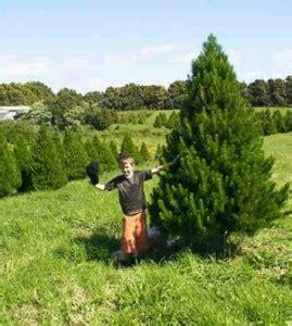 best real christmas tree nz mount gabriel tree farms farm fresh trees