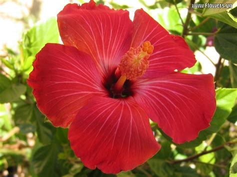 which state has a hibiscus hawaii state flower picture beautiful flowers