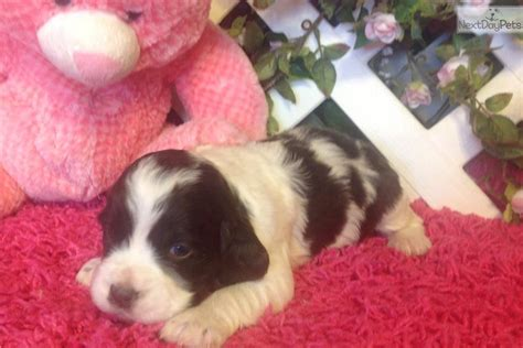 springer spaniel puppies near me springer spaniel puppy for sale near springfield missouri a8967074 10c1