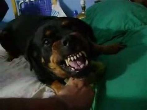 how to take care of rottweiler rottweiler puppy suffering hiccups rottweilervideos