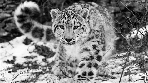 black and white leopard wallpaper snow leopard wallpapers hd pictures one hd wallpaper
