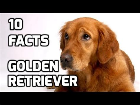 top 10 facts about golden retriever youtube
