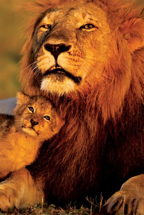 the lion and the lion and baby lions poster sold at abposters com
