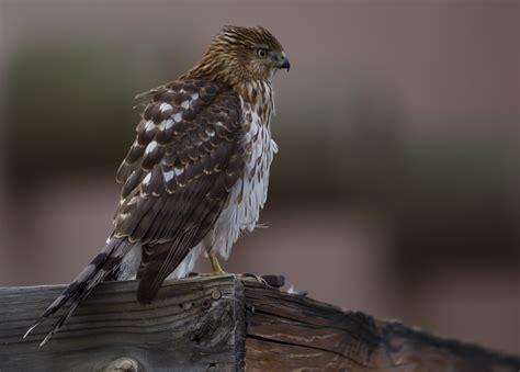 file juvenile cooper s hawk jpg wikimedia commons