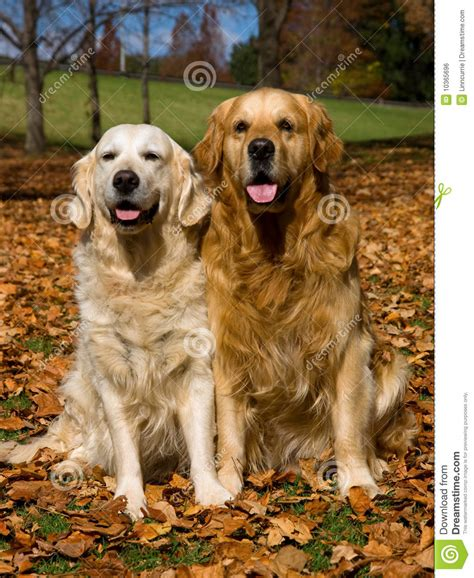 golden retriever hair fall 2 golden retrievers in field of fall leaves royalty free stock image image 10365696