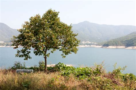 Kaki Baum Winterhart 1174 kaki baum winterhart diospyros kaki tipo 160cm kakibaum