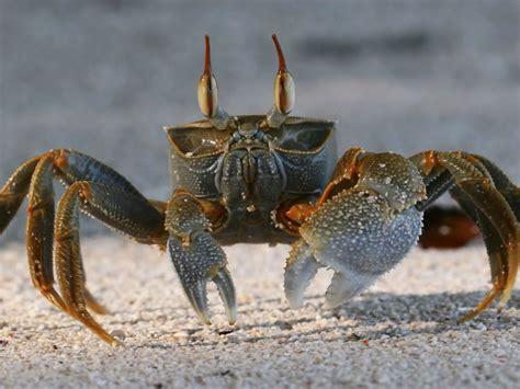 crab animal wallpaper hd wallpaperscom