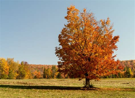 Best Backyard Trees by Sugar Maple Best Trees To Plant 10 Options For The Backyard Bob Vila