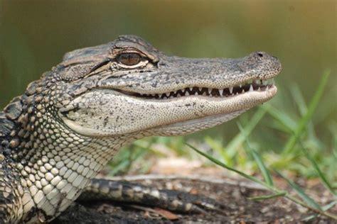 imagenes de animales reptiles caimanes animales reptiles cazador descargar fotos gratis