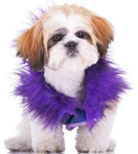 shih tzu constipation 17 best images about things for dogs on pets free dogs and bandanas
