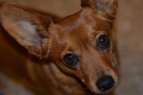 pomeranian weenie mix dameranian pomeranian x dachshund mix info temperament pictures