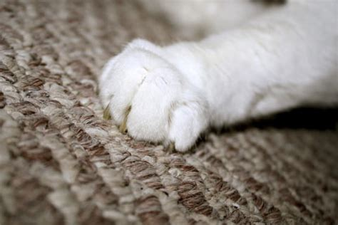why do cats on rugs why do cats scratch carpet
