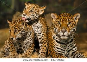 What Is The Jaguars Scientific Name Image Gallery Jaguar Scientific Name