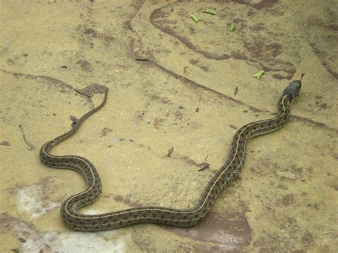 Garter Snake Kill Prey Pin By Shuster On Only In
