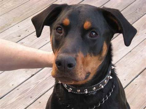 doberman pinscher and rottweiler what to do for shedding how coated owners deal with coat small