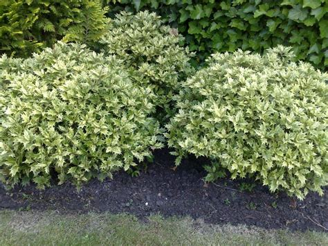 17 best images about low growing shrubs on pinterest hedges healthy sweets and plants