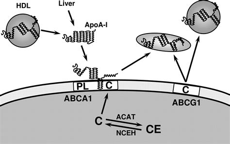 atp binding cassette atp binding cassette cholesterol transporters and