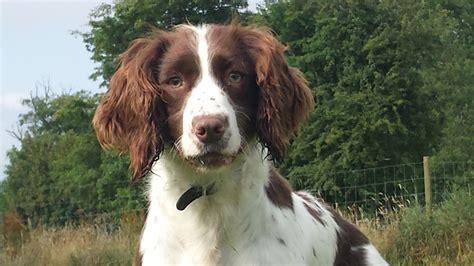 springer spaniel puppies for adoption springer spaniel hitchin hertfordshire pets4homes