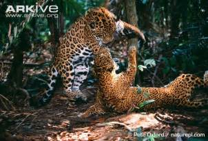 Where Can You Find Jaguars Jaguar Photo Panthera Onca G16481 Arkive