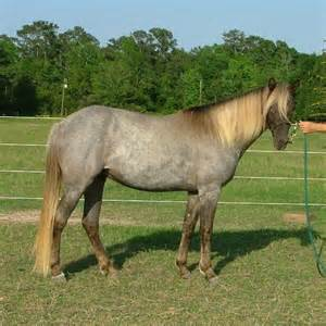 roan color gem s silver bells silver bay roan rmh kmsh filly