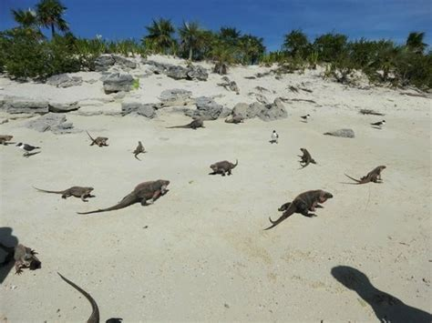 iguana island iguana island picture of exuma water tours great exuma