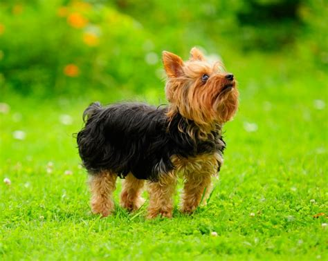 different yorkie coats terrier coat features and varieties pets4homes