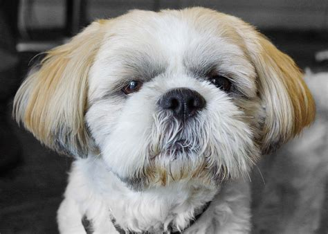 shih tzu allergy free top 10 best hypoallergenic breeds page 5