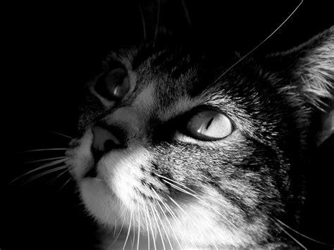 wallpaper chat hd image chat cat wallpaper hd 0008 album chats