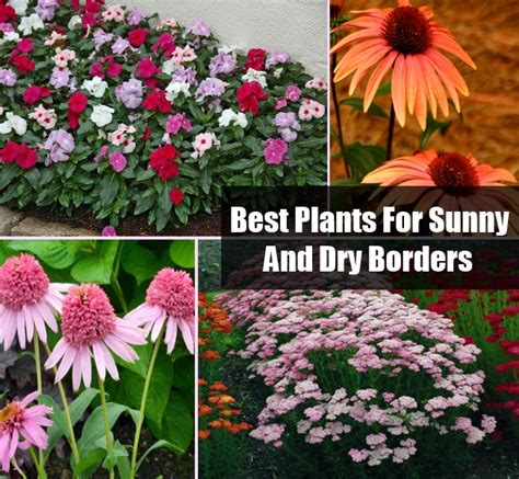 best plants for sunny and dry borders diy cozy home world home improvement and garden tips