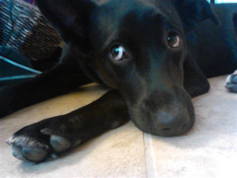 lab border collie mix puppies lab border collie mix barks at others seems fear based help dogs page 3