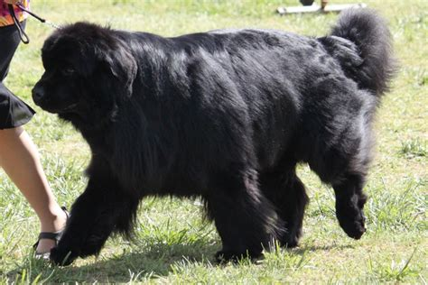newfoundland puppies cost newfoundland breed information newfoundland images newfoundland breed info