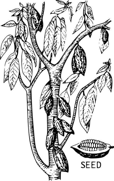 sketchbook hitam kostenlose vektorgrafik kakao baum saatgut bohne