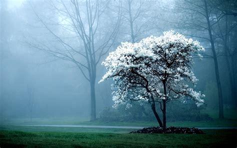 white tree white tree fog mist forest hd wallpapers lovely desktop
