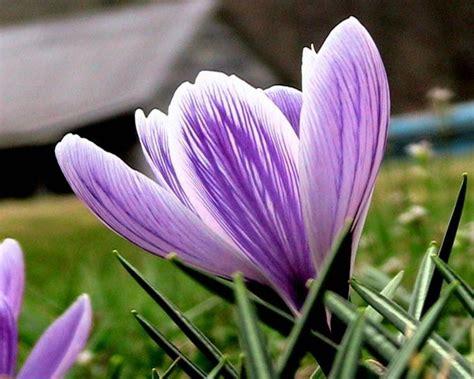 fiore croco foto gratis croco fiore croco longiflorus