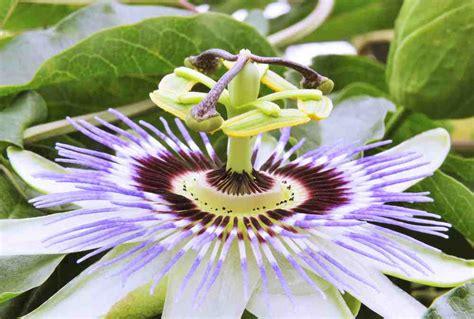 fiore passiflora passiflora propriet 224 e benefici benesserecorpomente it