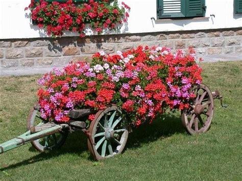 fiori di giardino foto fiori gerani geranio gerani fiori giardino