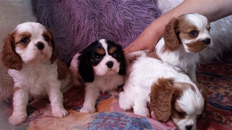 cavalier puppies for sale cavalier king charles puppies for sale skegness lincolnshire pets4homes
